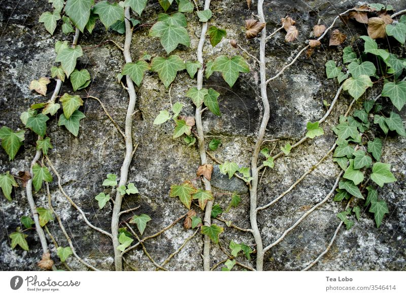 Ivy on a wall Wall (building) Wall (barrier) Creeper Tendril Facade Growth Vine Exterior shot Green Overgrown Deserted Nature Natural growth Detail