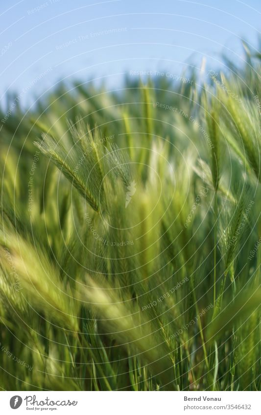 harvest grain Harvest Autumn Summer Light Sunlight green Grain field Blue Sky Shallow depth of field Blade of grass Delicate bokeh Agriculture Food Wind