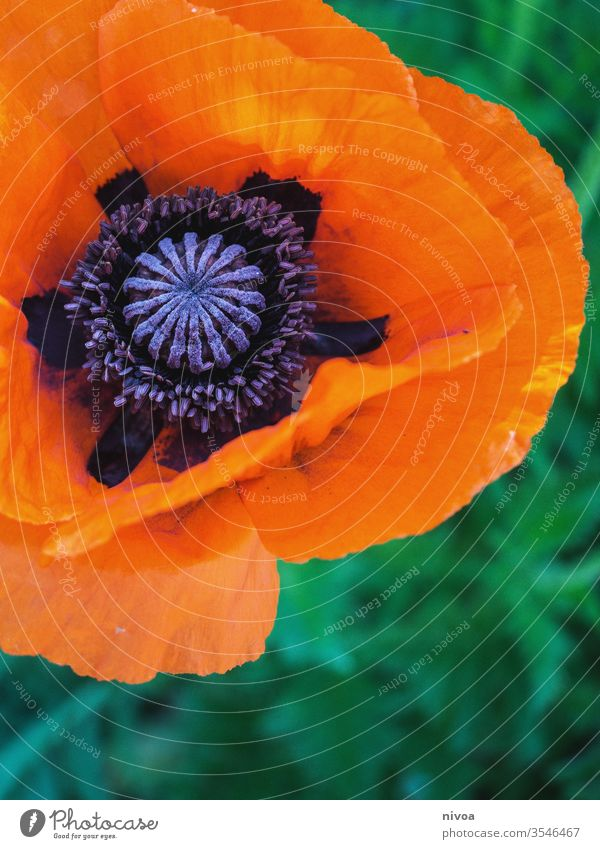 Close-up of a poppy flower Poppy blossom Poppy field Blossom Flower Detail detailed Macro (Extreme close-up) Orange Green Violet Summer Colour photo Beautiful