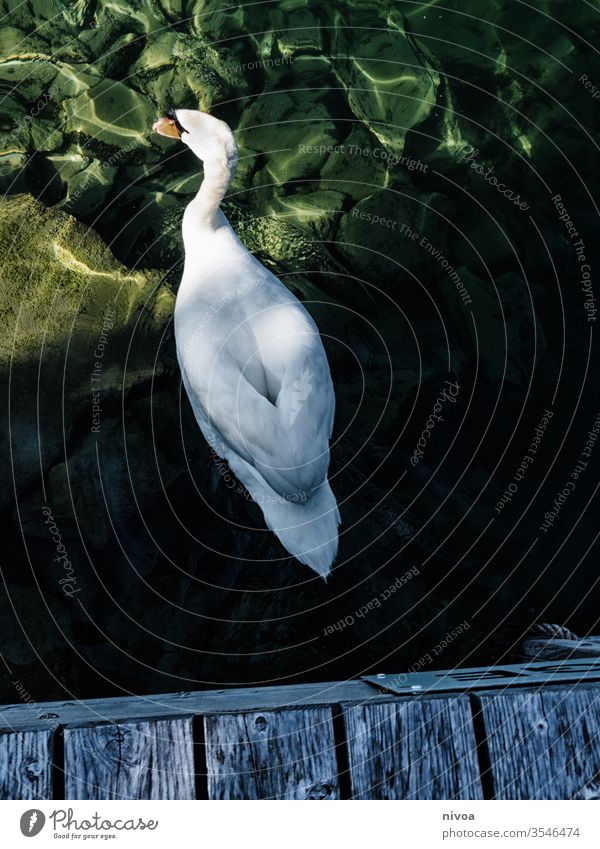swan swiming under a pond Swan Lake zurich Colour photo Switzerland Swimming & Bathing Feather Exterior shot Nature Animal Bird Water Looking Elegant Blue Wing