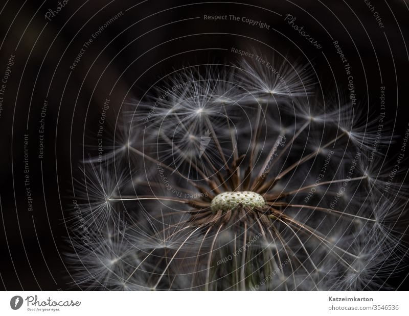 dandelion Flower Blooming bloom nature seed summer spring macro blossom abstract blue flora transparent botanic blurred soft floral natural detail white