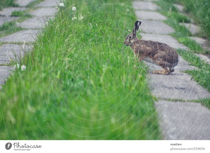 Hoppla Hoppel Grass Meadow Field Animal Wild animal 1 Gray Green Hare & Rabbit & Bunny Concrete off hobble Colour photo Exterior shot Deserted Day