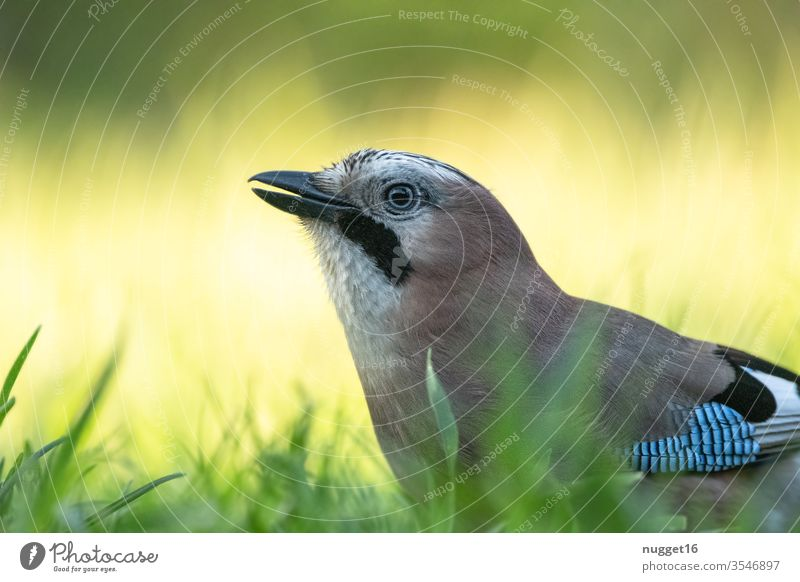 Jay in the grass birds Animal portrait Exterior shot Colour photo Wild animal Nature Deserted Day Blue Grand piano Animal face Close-up Shallow depth of field