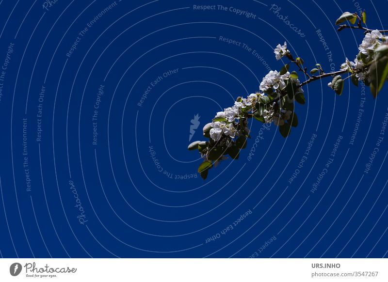 Branch of a white flowering fruit tree against a dark blue background Twig fruit tree blossom Apple tree branch Blue Nature Plant White Night conceit minimal