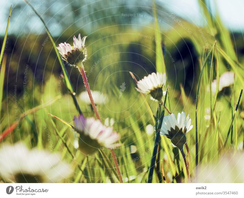 In front of the lawn mower Daisy Meadow Blossoming Small Near Motion blur Shallow depth of field flowers Plant Exterior shot Nature Colour photo spring Close-up