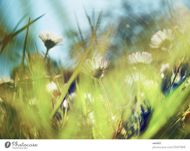 Hushed Daisy Meadow spring Motion blur flowers Grass green Nature Yellow White Lawn Close-up Exterior shot Macro (Extreme close-up) Blossoming