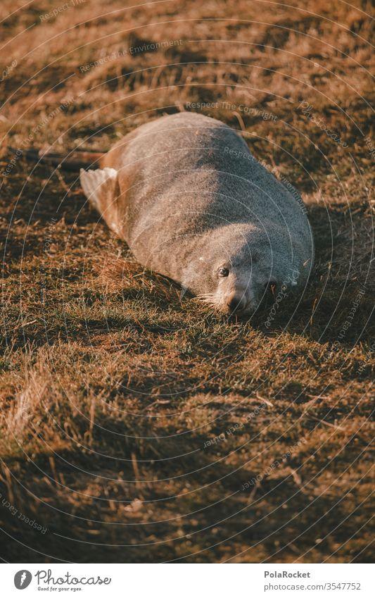 #As# slacker lazy Lazybones Faulen Seals Seal cub Seal colony seal Animal Sleep Lie reclining Goof off sluggish sloth sluggard New Zealand Colour photo