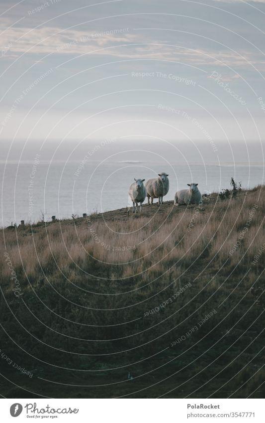 #As# Sheep slope sheep Coast New Zealand New Zealand Landscape Colour photo Exterior shot Nature Vacation & Travel Adventure Environment