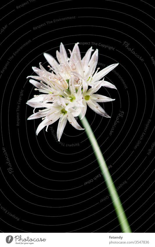 Chive blossom on black detail Allium schoenoprasum isoliert Aroma vegetarisch botanisch Frische Schnittlauchblüte Flora Gewürze Garten Bokeh kulinarisch