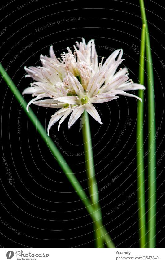 White chive blossom with green stems parallel Allium schoenoprasum isoliert Aroma Freisteller Textfreiraum vegetarisch botanisch Frische Schnittlauchblüte Flora