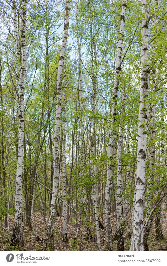 birch forest birches Birch wood Forest planted White bark youthful afforestation young shoots flaked leaves Portrait format Nature Landscape