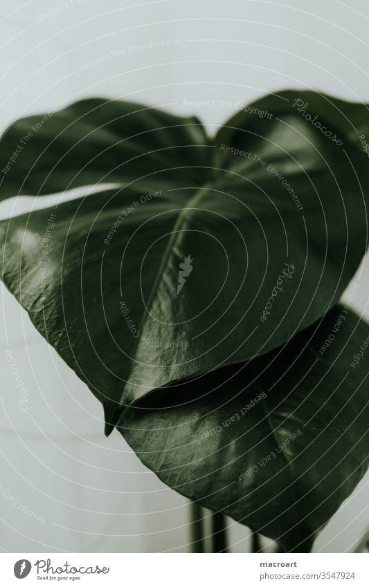 Monstera im detail monstera blatt fensterblatt blätter dekoration riesig groß pflanze pflanzlich floral grün weiß hell zimmerpflanze wallpaper poster