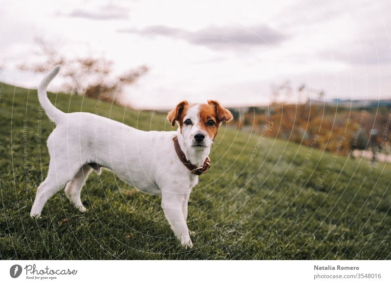 A beautiful small dog is standing in the meadow. It is looking at the camera. It has brown and white fur. It is enjoying in the park. animal canine nature pet