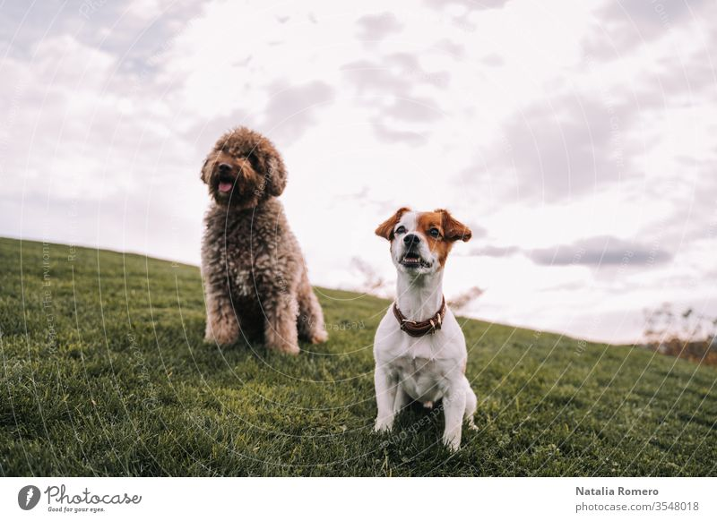 Two beautiful doggy friends are in the meadow. They are looking at something in front of them. They are very attentive and excited. One of them has brown fur and the other has two-color fur.
