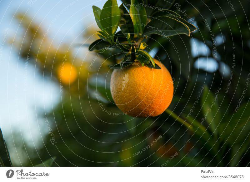 Orange on the branch of an orange tree Orange plantation oranges Orange tree orange fruit citrus fruit Mature Harvest orange plantation Plantation Fuit growing