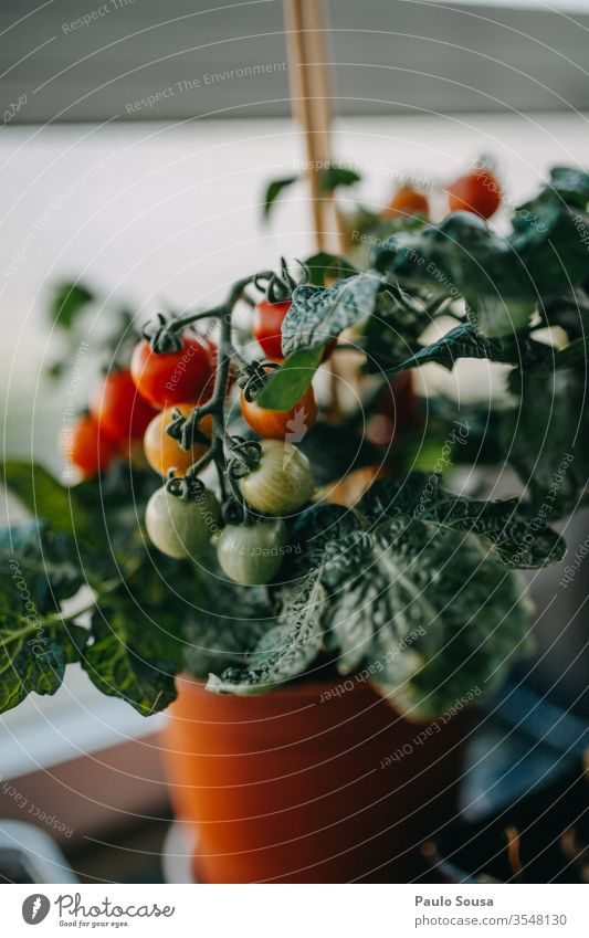 Potted tomato plant with fruits Tomato potted Plant tomatoes Vegetable Cooking Vegetarian diet Basil Rustic Multicoloured Italian Ingredients Diet pasta food
