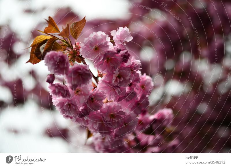 Cherry blossom close petals Bud spring Blossoming Spring colours Spring fever Nature Cherry tree Pink flowers Twig Branch bleed cherry blossom twigs heyday
