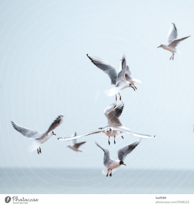 seagulls in flight Seagull birds Grand piano Eye contact Gull Flies Flying Feather Ease Dominican Gull Larus dominikanus Black-backed gull Baltic Sea Hunting