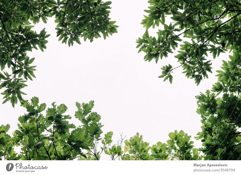 Lush green leaves in deep forest in springtime abstract backdrop background beautiful beauty beech botanical botany branch bright color conservation day design