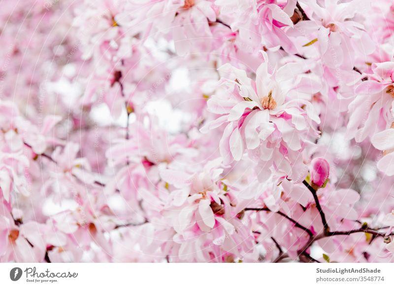 Delicate pink magnolia flowers petals spring springtime blossoming bloom blooming flowering garden gardening floral botanical pastel light delicate feminine