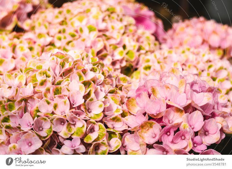 Bright pink hortensia flowers hydrangea yellow petals garden gardening nature floral plant plants botanical growing background texture feminine bright vivid