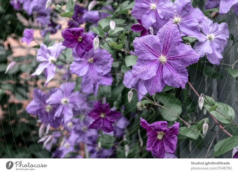 Purple clematis flowers petals garden gardening nature purple green floral plant plants growing background texture bloom blooming blossom blossoming botanical