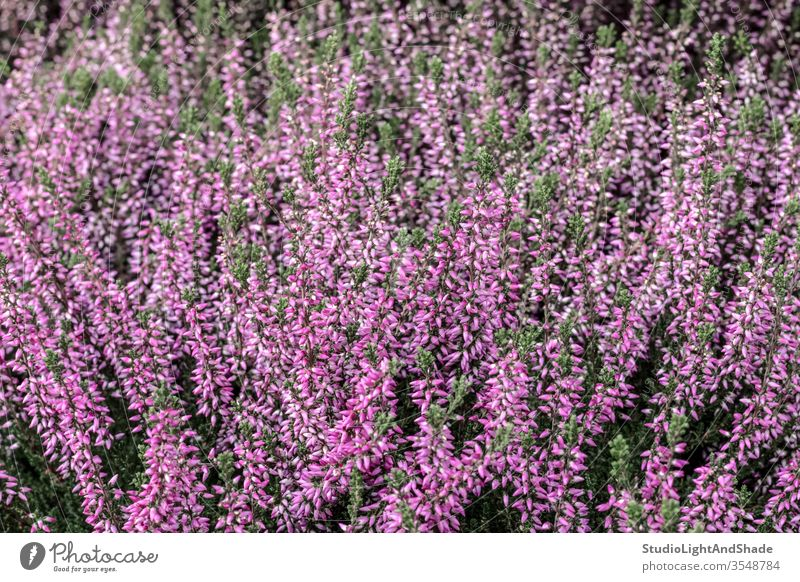 Blooming wild heather plant pink magenta purple flower flowers flora growing forest bloom blooming blossom blossoming flowering wildflower wildflowers nature