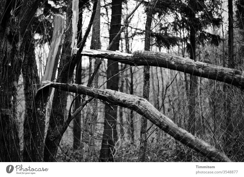 Double tree break Tree Tree trunk Breakage tree breakage Wood Forest Nature Exterior shot Environment somber Black & white photo