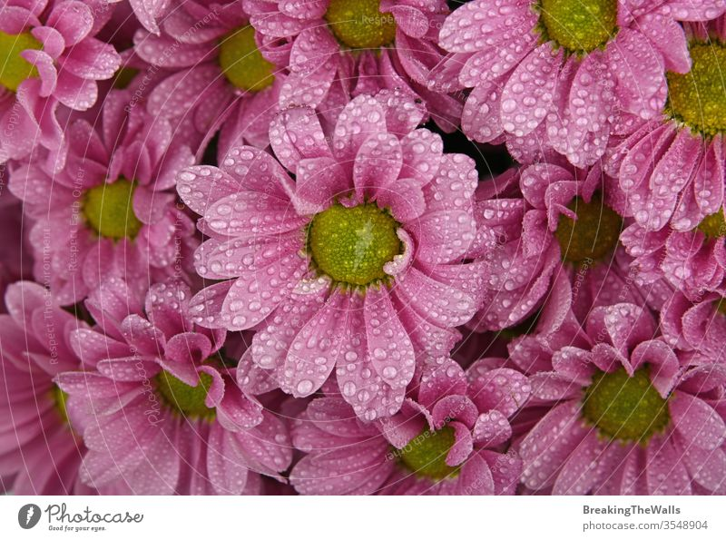 Close up background pattern of fresh pink chrysanthemum or marguerite flowers with water drops after the rain, elevated top view, directly above Chrysanthemum