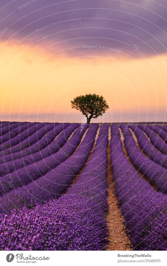 Purple blooming lavender field of Provence, France, at sunset with beautiful scenic sky and tree on horizon Lavender blossom purple flowers dramatic nature