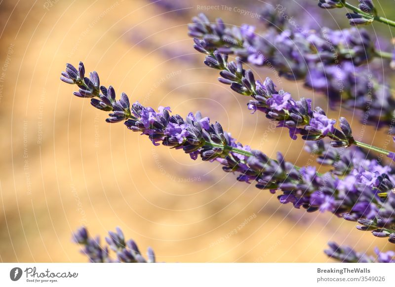 Close up purple blooming lavender flowers, low angle side view Lavender closeup blossom day field Provence France scenic nature beautiful rural agriculture