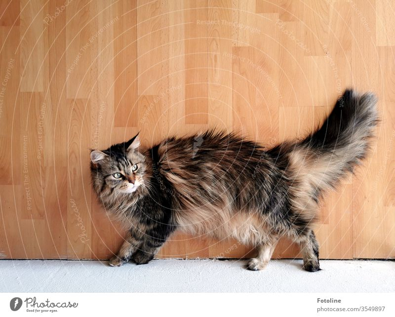 Maine Coon cat lounging on the laminate floor Cat Pelt purebred cat Longhaired cat pets feline Fluffy White Brown Auburn Tricolour One animal Nature Looking