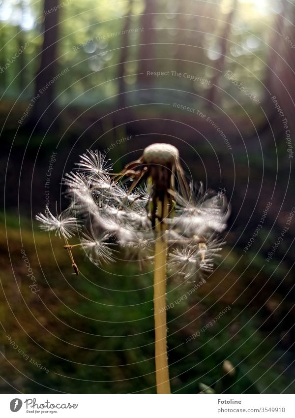 Gone with the wind - or a dandelion in the forest that has already been ruffled by the wind Nature lowen tooth Plant flowers Colour photo spring Exterior shot