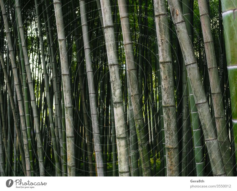 pattern background green bamboo forest in a park in Georgia asia bamboo background bamboo pattern bright colored fresh garden japan jungle landscape natural