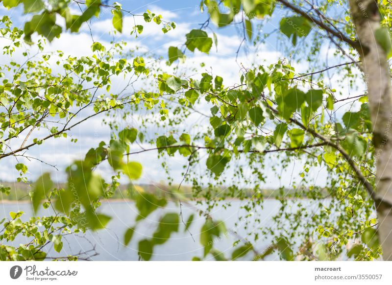 birch twigs Birch tree Birch leaves green Branch branches Nature Landscape Close-up green earlyling Summer freshness drift bark Tree trunk White Sky blue Water
