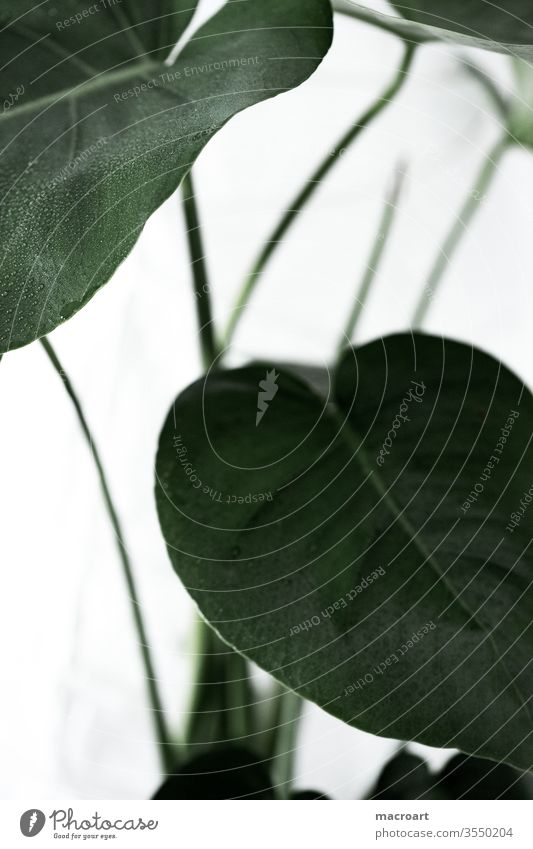 Monstera Wallpaper fensterblatt pflanze blätter groß riesig floral grün wallpaper poster modern trend zimmerpflanze dekoration dekorativ weiß hell nahaufnahme