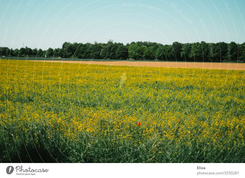 A rape field with single poppies and forest in the background Canola field Nature Field Summer Corn poppy spring Yellow Blossoming Landscape Agricultural crop