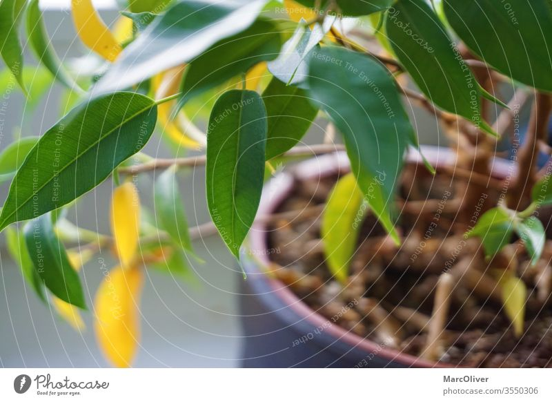 Houseplant with yellow leaves due to nutrient deficiency nutrient deficiency in plants plant nutrient deficiency houseplant with yellow leaves Plant green