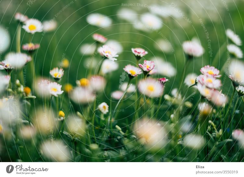 A green flower meadow in Sonmer with many daisies Daisy Meadow Grass Flower meadow Summer spring flowers Summery Blossoming Garden Meadow flower Nature Plant