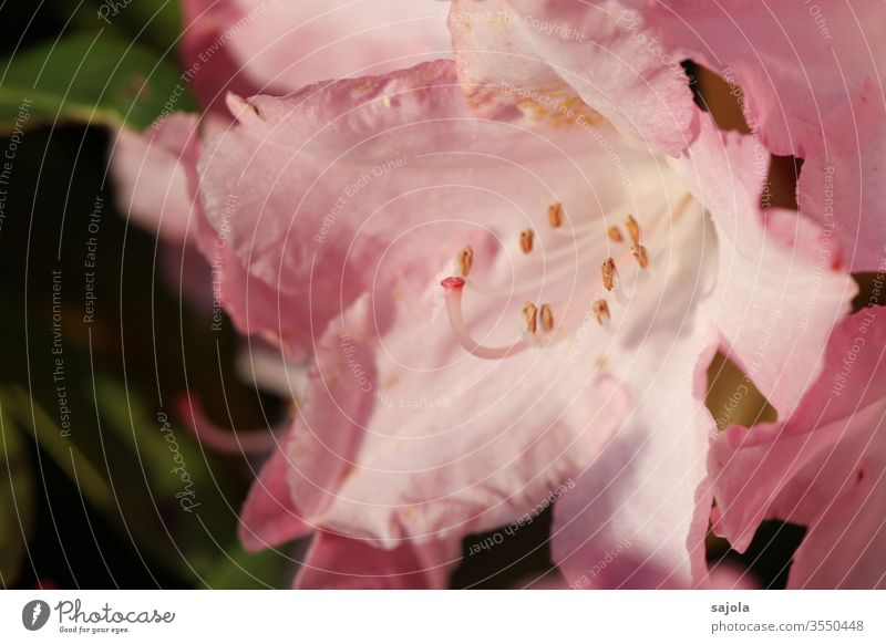pink rhododendron blossom in the light bleed Rhododendrom Plant Colour photo Exterior shot Nature Macro (Extreme close-up) flowers Close-up Pink Pistil Calyx