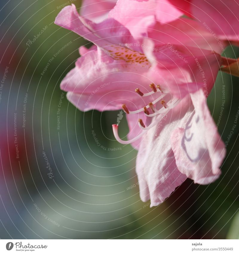 rosy rhododendron blossom Rhododendrom rhododendron flowers Pink pink flower bleed Pistil Calyx petals flower stylus Colour photo Macro (Extreme close-up)