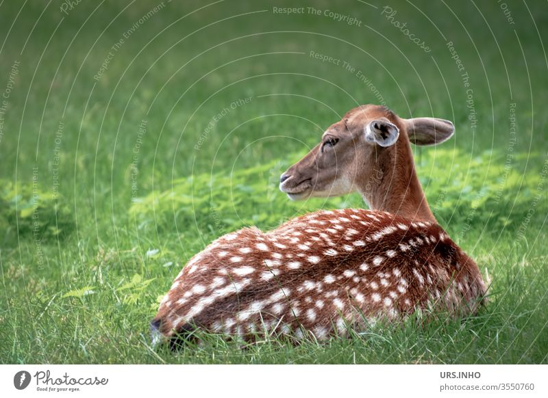 a spotted fawn lies watchfully in the grass Fawn Bambi Roe deer Speckled youthful young animal vigilantly Animal Wild animal Baby animal Deserted