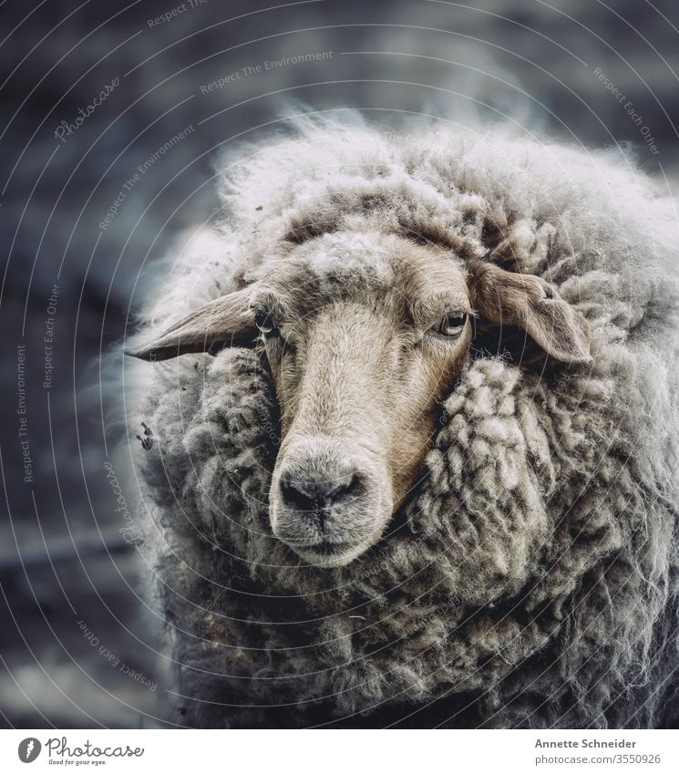 sheep Animal Pet Farm animal Sheep 1 Brown White Colour photo Subdued colour Exterior shot Isolated Image Looking into the camera
