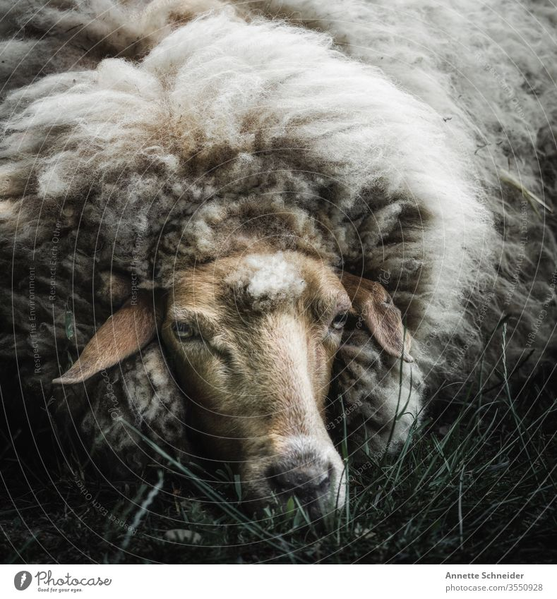 sheep Looking into the camera Isolated Image Exterior shot Subdued colour Colour photo White Brown 1 Sheep Farm animal Pet Animal