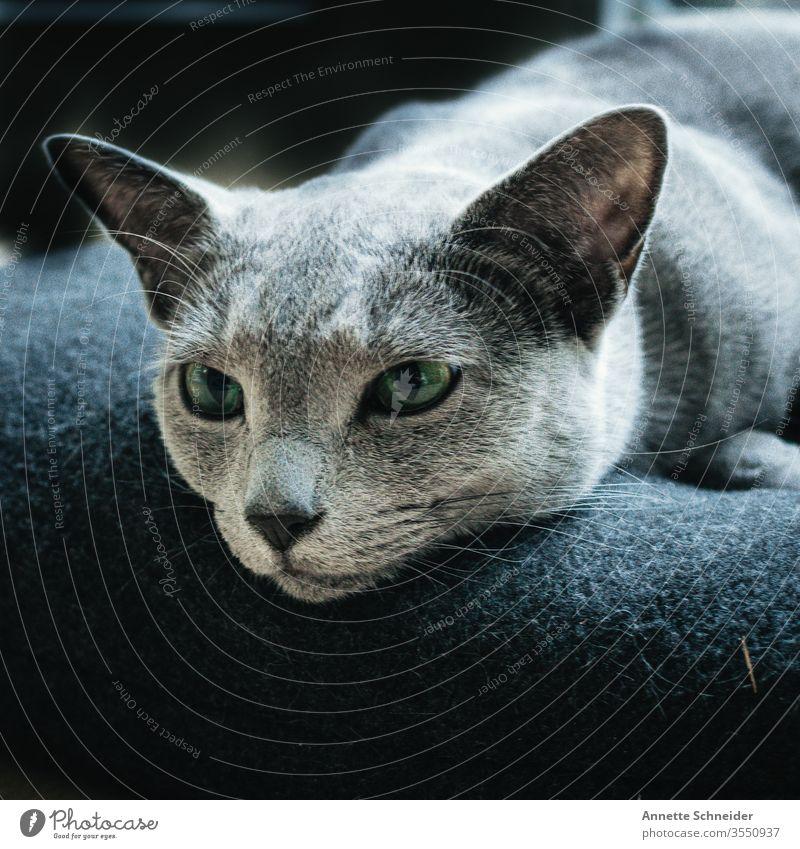 CAT Russisch blau Looking into the camera Animal portrait Neutral Background Esthetic Cat Pet Elegant