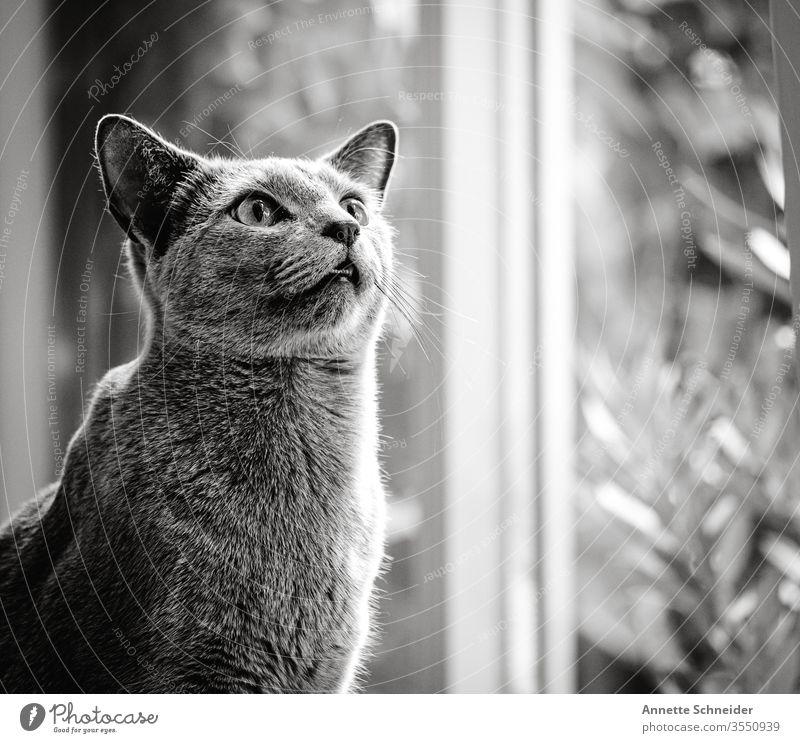 hangover Forward Neutral Background Interior shot Gray Animal 1 Cat Pet