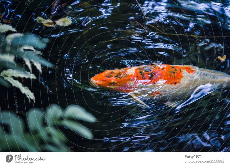 Koi in the pond at the water surface Fish Pond Water Carp Animal Animal portrait Orange White Exterior shot Bird's-eye view Day Deserted