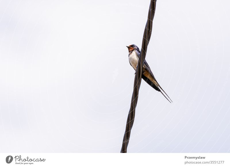 Swallow bird on the wire swallow bird animal nature flying ornithology outdoors horizontal day light bright colorful fauna