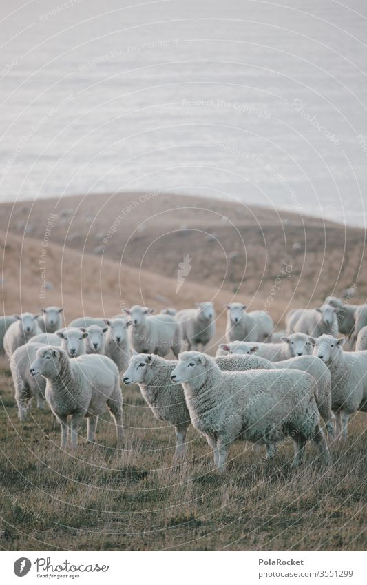 #As# coastal sheep Deserted Group of animals Herd Exterior shot Meadow Colour photo Farm animal Landscape Nature count sheep New Zealand ears Merino sheep Wool
