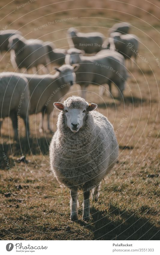 #AS# Mr. Sheep Flock Lamb's wool Sheep shearing frighten sheep Farm animals Wool Merino sheep New Zealand ears count sheep Nature Landscape Exterior shot Meadow